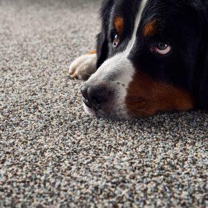 Dog on Carpet floor | Frazee Carpet & Flooring
